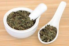 Neem Herb. Leaf used in ayurvedic natural alternative herbal medicine. Azadirachta indica Royalty Free Stock Photography
