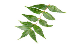 Neem leaf Stock Photography