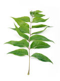 Neem leaf. Bunch of neem leaves on isolated background Royalty Free Stock Photo