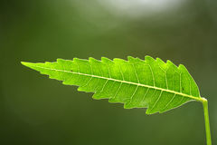 Neem leaf. Close up of a neem leaf against green Royalty Free Stock Image
