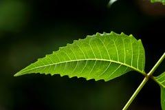 Neem leaf-Azadirachta indica Royalty Free Stock Image