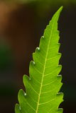 Neem leaf in backlight Royalty Free Stock Image