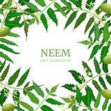 Neem leaf branch boxing frame, flowers and pods. Ayurveda Herb template. Used for alternative medicine, ayurveda, cosmetics, health care product, aromatherapy vector illustration