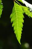 Neem leaf Royalty Free Stock Photos
