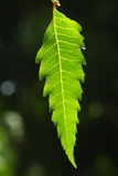 Neem leaf Royalty Free Stock Photography