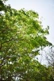 Neem tree. Neem leaf flower branch white green tree background natural medicinal ayurveda needful environment Royalty Free Stock Photo
