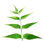 Neem leaves. Over white background Royalty Free Stock Image