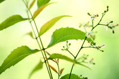 Neem leaves Stock Photos