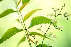 Neem leaves. Green neem leaves- Azadirachta indica Stock Photos