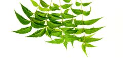Neem Leaves Stock Photo