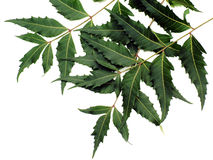 Neem Leaves. (medical-properties Stock Photography