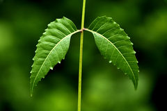 Neem leaves-Azadirachta indica Royalty Free Stock Photos