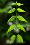 Neem leaves-Azadirachta indica Stock Photography