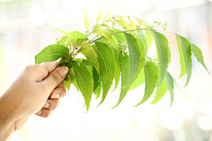 Neem leaves-Azadirachta indica Royalty Free Stock Images