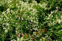 Neem leaves - azadirachta indica Stock Photos