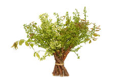 Neem leaves-Azadirachta indica Royalty Free Stock Photography