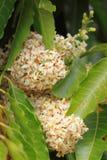 Neem leaves. Azadirachta indica tree Royalty Free Stock Photo