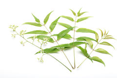 Neem leaves and flowers Stock Photo
