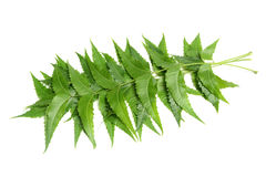 Neem leaves. Medicinal neem leaves on white background Royalty Free Stock Images