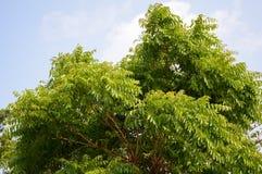 Neem plan tree in garden. Azadirachta indica Royalty Free Stock Photo