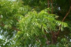 Neem plan tree in garden. Azadirachta indica Royalty Free Stock Images