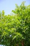 Neem plan tree in gardenagriculture, aristha, ayurvedic, azadirachta, azadirachta indica, branch, cosmetics, foliage, fresh. Neem plan tree in garden stock image
