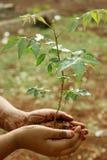 Neem Plant Stock Image