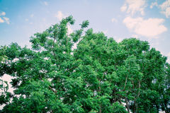Neem plant Royalty Free Stock Photography