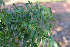 Neem plant. In an agricultural Stock Photos