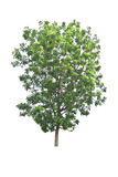 Neem plant (Azadirachta indica), tropical tree in Thailand isola Royalty Free Stock Photos