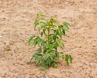 Neem plant growing from soil Stock Photography