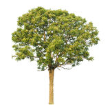 Neem plant (Sa-Dao). Wood originated in India, Grow in the dry, Useful, both as food and building homes Stock Photo