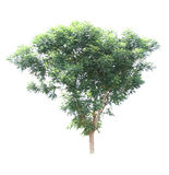 Neem plant tree Royalty Free Stock Photos