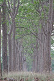 Neem plantation Royalty Free Stock Photo