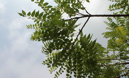 Neem`s branches. Neem tree swinging green branches. Neem leaves Royalty Free Stock Image