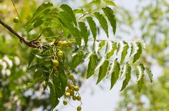 Neem scientific name: Azadirachta indica. Raw fruits of the neem on the tree in the garden stock image