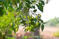 Neem seed-Azadirachta indica Stock Image