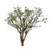 Neem tree Stock Photo