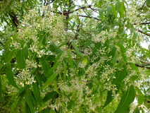 Neem tree Azadirachta_indica with green leaves and white flowers Royalty Free Stock Photos