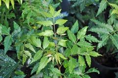 Neem Tree - Azadirachta indica. Leaves of the Neem Tree - Azadirachta indica Stock Photos