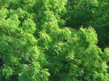 Neem tree. Close up shot of neem tree green leaves Royalty Free Stock Photo