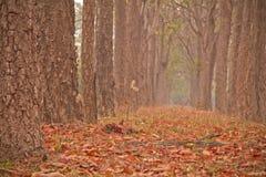 Neem tree Royalty Free Stock Image