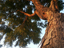 The neem tree. Low angle view of neem tree at sunset Royalty Free Stock Photos