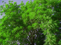 Neem Tree Stock Photography