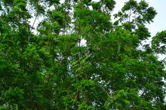 Neem Tree in the wind Royalty Free Stock Photo