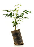 Neem trees Stock Images