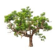 Neeminstallatie (indica Azadirachta), tropische boom Stock Afbeeldingen
