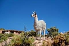 Neer Salar de Uyuni, Bolivia dell'alpaca Fotografia Stock Libera da Diritti