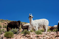 Neer Salar de Uyuni, Bolivia dell'alpaca Fotografia Stock