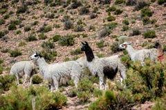 Neer Salar de Uyuni, Bolivia dell'alpaca Immagini Stock Libere da Diritti